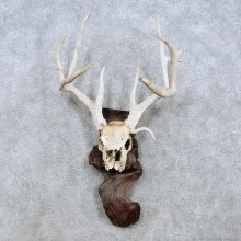 Whitetail Deer Skull Horn Taxidermy Mount For Sale #13954 @ The Taxidermy Store