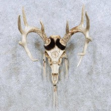 Whitetail Deer Skull Horn Taxidermy Mount For Sale #13957 @ The Taxidermy Store