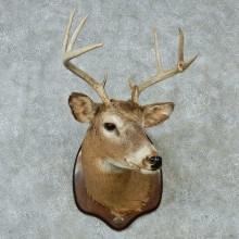 Whitetail Deer Taxidermy Shoulder Mount #13150 For Sale @ The Taxidermy Store