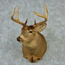 Whitetail Deer Taxidermy Shoulder Mount #13157 For Sale @ The Taxidermy Store