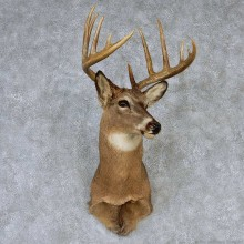 Whitetail Deer Taxidermy Shoulder Mount #13148 For Sale @ The Taxidermy Store