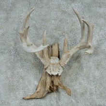 Whitetail Skull Cap & Antlers Taxidermy Mount #13254 For Sale @ The Taxidermy Store