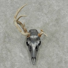 Whitetail Deer Skull & Antler European Taxidermy Mount For Sale