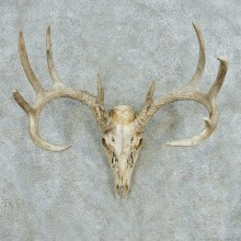 Whitetail Deer Skull Antlers European Mount #13567 For Sale @ The Taxidermy Store