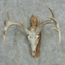 Whitetail Deer Skull Antlers European Mount #13574 For Sale @ The Taxidermy Store