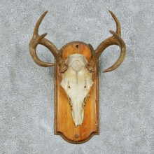 Whitetail Deer Skull & Horns Taxidermy Mount #13103 For Sale @ The Taxidermy Store