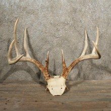 Whitetail Deer Antler Plaque #10988 - For Sale - The Taxidermy Store