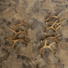 Whitetail Deer Antler Craft Pack For Sale #21338 @ The Taxidermy Store