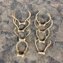 Whitetail Deer Antler Craft Pack For Sale #23039 @ The Taxidermy Store