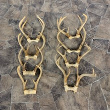 Whitetail Deer Antler Craft Pack For Sale #23040 @ The Taxidermy Store
