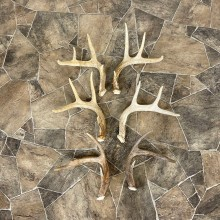 Whitetail Deer Antler Craft Pack For Sale #25106 @ The Taxidermy Store