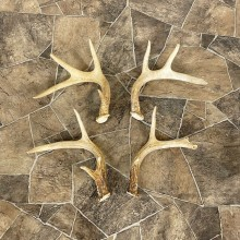 Whitetail Deer Antler Craft Pack For Sale #25108 @ The Taxidermy Store