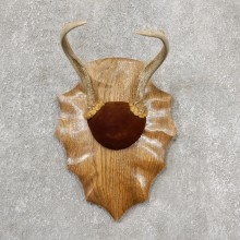 Whitetail Deer Antler Plaque Mount #19143 For Sale @ The Taxidermy Store
