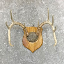 Whitetail Deer Antler Plaque Mount #24254 For Sale @ The Taxidermy Store