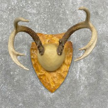 Whitetail Deer Antler Plaque Mount #24467 For Sale @ The Taxidermy Store