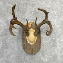 Whitetail Deer Antler Plaque Mount #24544 For Sale @ The Taxidermy Store