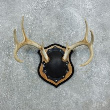 Whitetail Deer Antler Plaque Mount For Sale #18385 @ The Taxidermy Store
