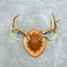 Whitetail Deer Antler Plaque Mount For Sale #18413 @ The Taxidermy Store