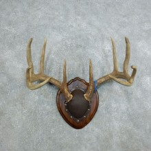 Whitetail Deer Antler Plaque Mount For Sale #18437 @ The Taxidermy Store