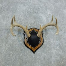 Whitetail Deer Antler Plaque Mount For Sale #18440 @ The Taxidermy Store