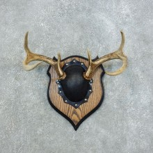 Whitetail Deer Antler Plaque Mount For Sale #18442 @ The Taxidermy Store