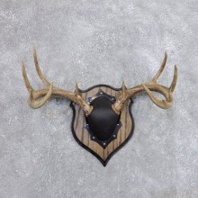 Whitetail Deer Antler Plaque Mount For Sale #18719 @ The Taxidermy Store