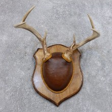 Whitetail Deer Antler Plaque Mount For Sale #18721 @ The Taxidermy Store
