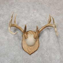 Whitetail Deer Antler Plaque Mount For Sale #18966 @ The Taxidermy Store