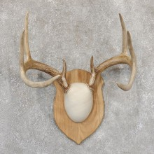 Whitetail Deer Antler Plaque Mount For Sale #18995 @ The Taxidermy Store