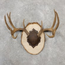 Whitetail Deer Antler Plaque Mount For Sale #19110 @ The Taxidermy Store