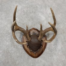 Whitetail Deer Antler Plaque Mount For Sale #19119 @ The Taxidermy Store