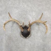 Whitetail Deer Antler Plaque Mount For Sale #19121 @ The Taxidermy Store