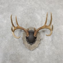 Whitetail Deer Antler Plaque Taxidermy Mount For Sale
