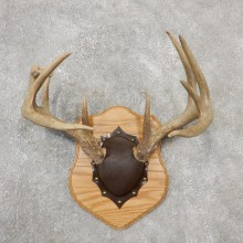 Whitetail Deer Antler Plaque Mount For Sale #19125 @ The Taxidermy Store
