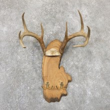 Whitetail Deer Antler Plaque Mount For Sale #19331 @ The Taxidermy Store