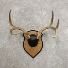 Whitetail Deer Antler Plaque Mount For Sale #20989 @ The Taxidermy Store