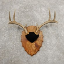 Whitetail Deer Antler Plaque Mount For Sale #20991 @ The Taxidermy Store