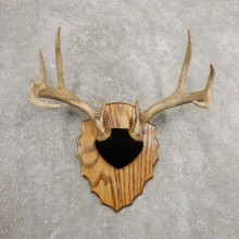 Whitetail Deer Antler Plaque Mount For Sale #20992 @ The Taxidermy Store