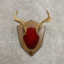 Whitetail Deer Antler Plaque Mount For Sale #20993 @ The Taxidermy Store