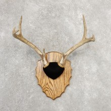 Whitetail Deer Antler Plaque Mount For Sale #21155 @ The Taxidermy Store