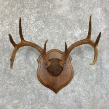 Whitetail Deer Antler Plaque Mount For Sale #22868 @ The Taxidermy Store