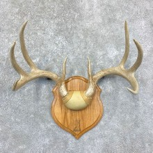 Whitetail Deer Antler Plaque Mount For Sale #22382 @ The Taxidermy Store