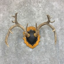Whitetail Deer Antler Plaque Mount For Sale #23572 @ The Taxidermy Store