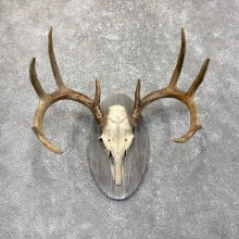 Whitetail Deer Antler Plaque Mount For Sale #24504 @ The Taxidermy Store