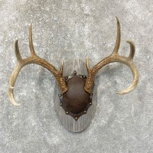 Whitetail Deer Antler Plaque Mount For Sale #24743 @ The Taxidermy Store