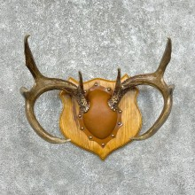 Whitetail Deer Antler Plaque Mount For Sale #25330 @ The Taxidermy Store