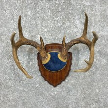 Whitetail Deer Antler Plaque Mount For Sale #25332 @ The Taxidermy Store