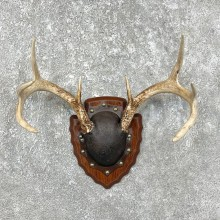 Whitetail Deer Antler Plaque Mount For Sale #25333 @ The Taxidermy Store