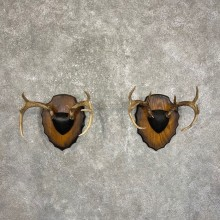 Whitetail Deer Antler Plaque Pair #24567 For Sale @ The Taxidermy Store