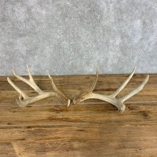 Whitetail Deer Antler Set For Sale #21512 @ The Taxidermy Store
